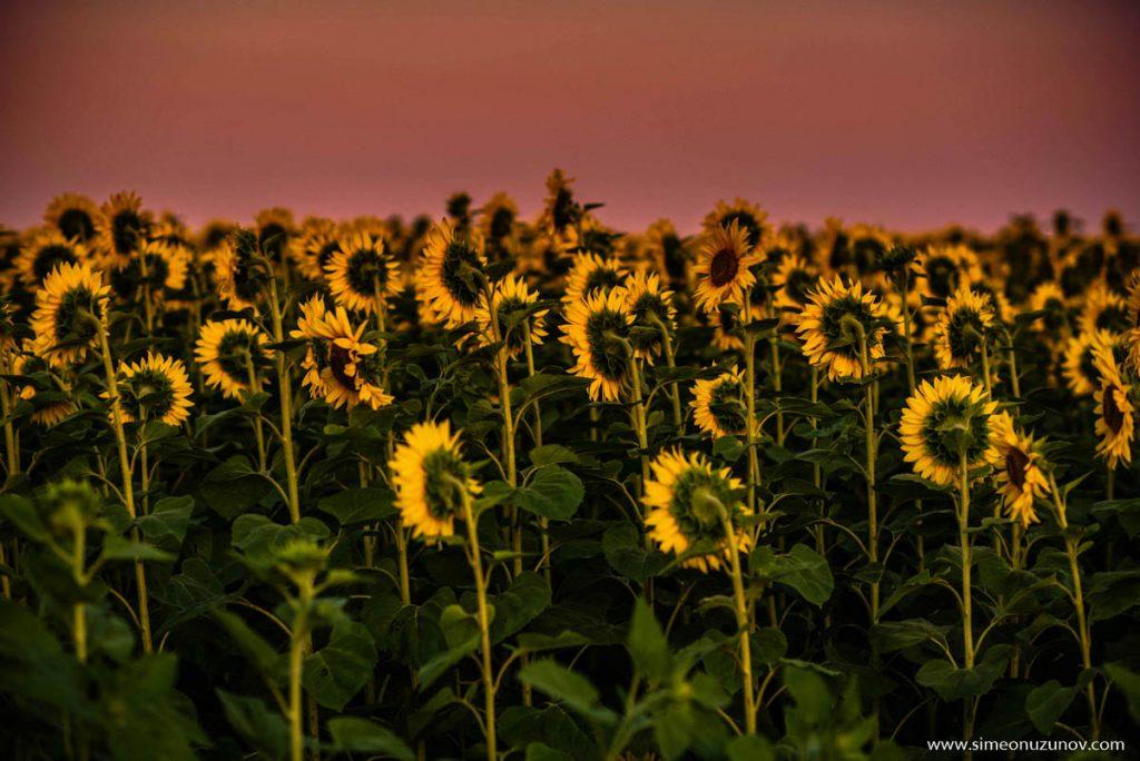 слънчогледови фотосесии варна